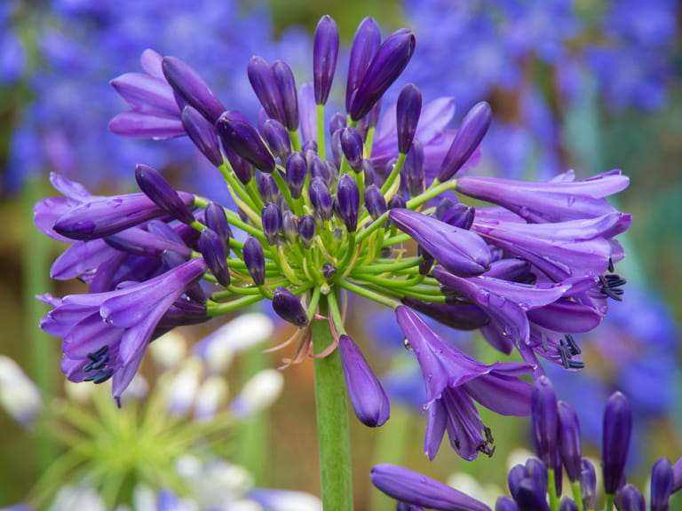 Agapanthus 'Purple Delight' photographed by Richard Loader
