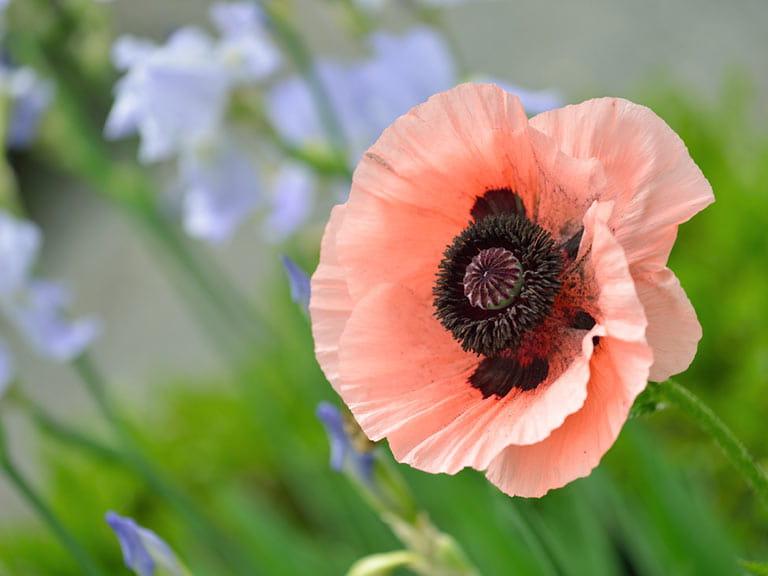 Best oriental poppy varieties saga oriental poppy mightylinksfo