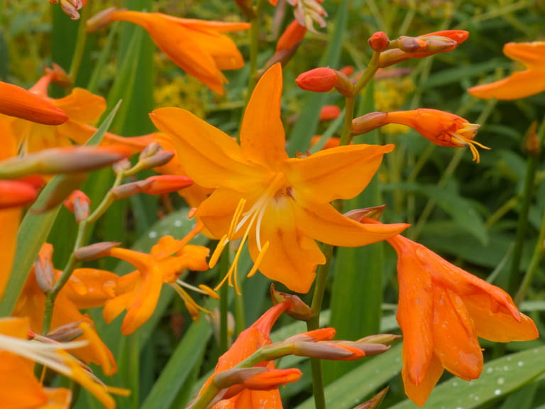Crocosmia × crocosmiiflora 'Star of the East'
