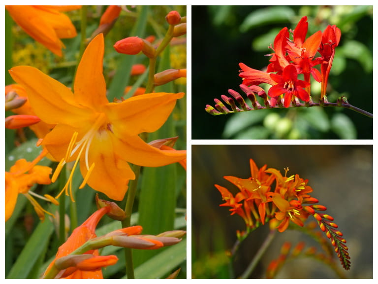 Crocosmia varieties