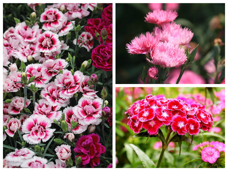 How to care for dianthuspinks saga dianthus varieties mightylinksfo Choice Image