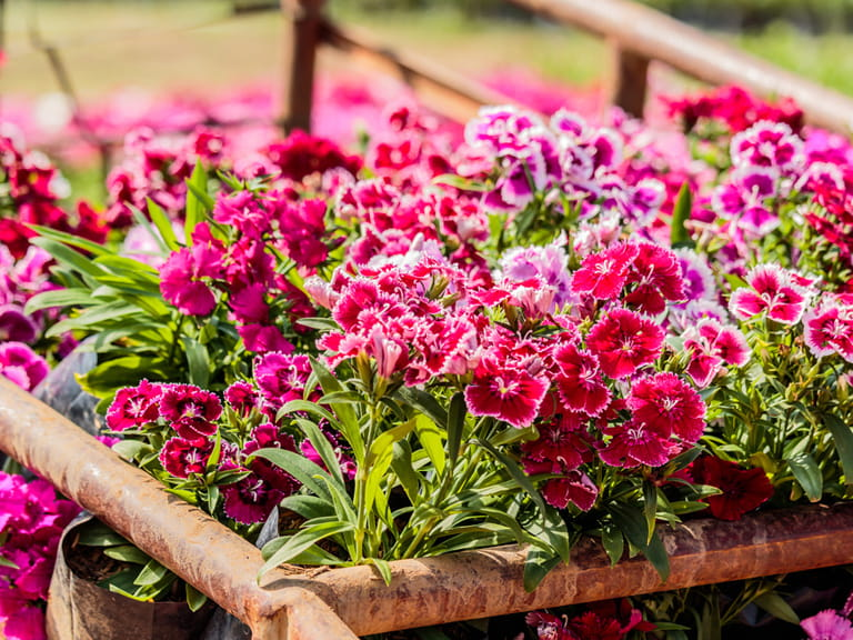 Image result for Dianthus plant