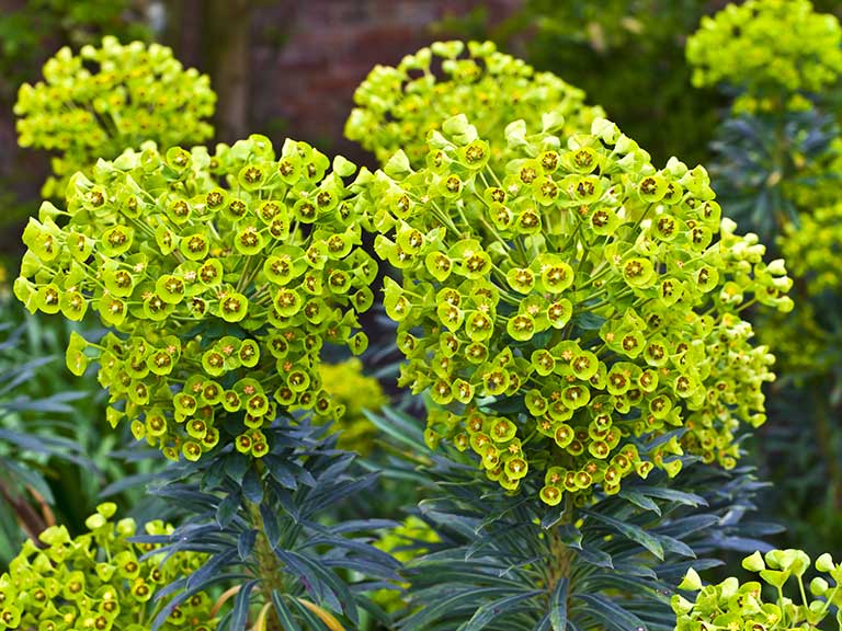 Green flowering euphorbia plant
