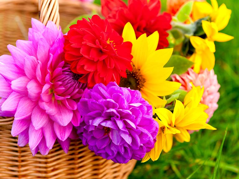 Bright dahlias in a basket