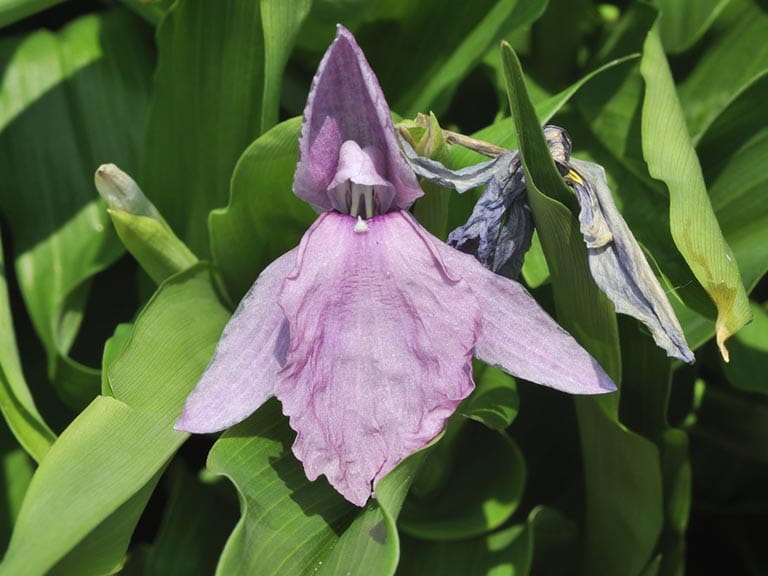 Lilac coloured roscoea plant