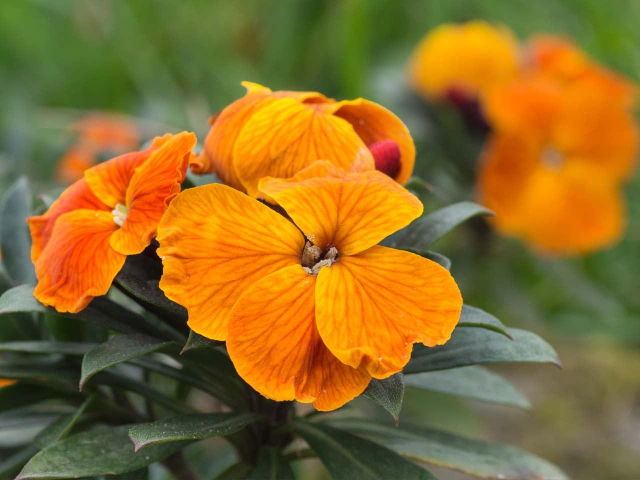 How To Grow Wallflowers Saga
