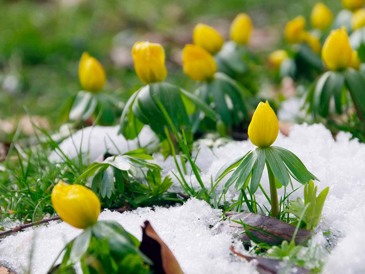 Yellow winter aconites pushing through the snow to flower
