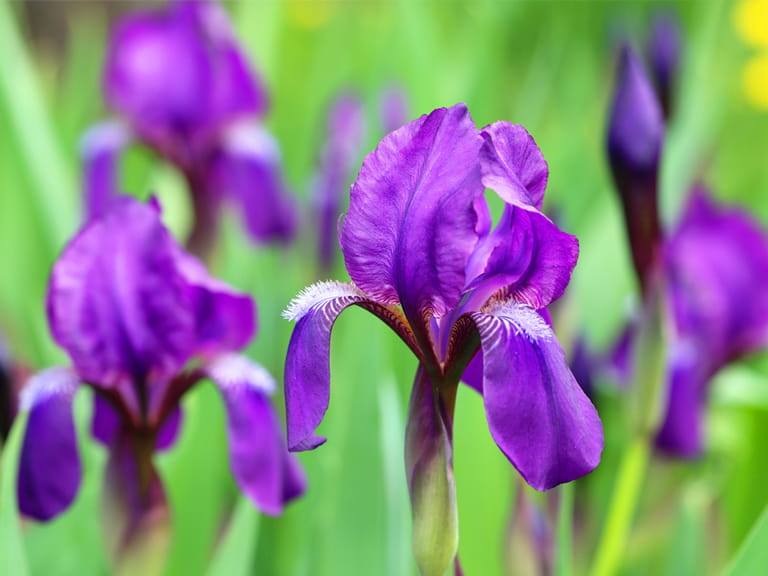 https://www.saga.co.uk/contentlibrary/saga/publishing/verticals/home-and-garden/gardening/plants/perennials/irises/how_to_grow_bearded_irises_201458363_768.jpg