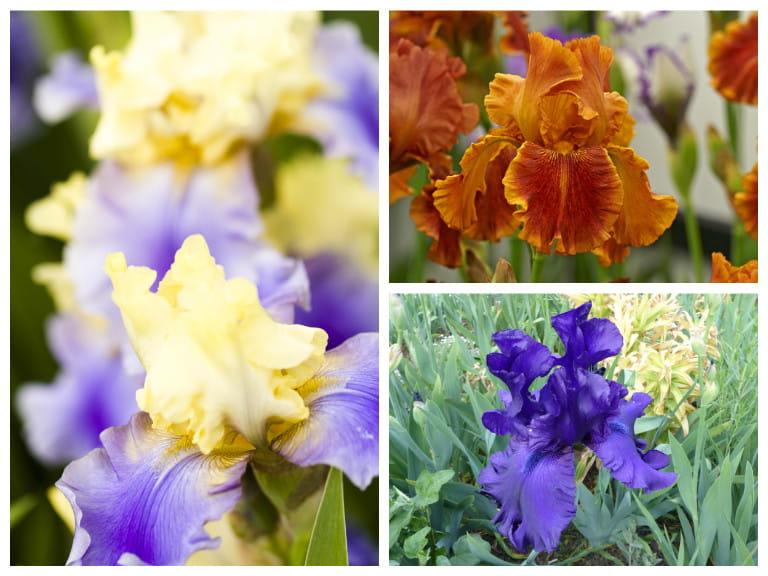 How To Grow Bearded Irises Saga