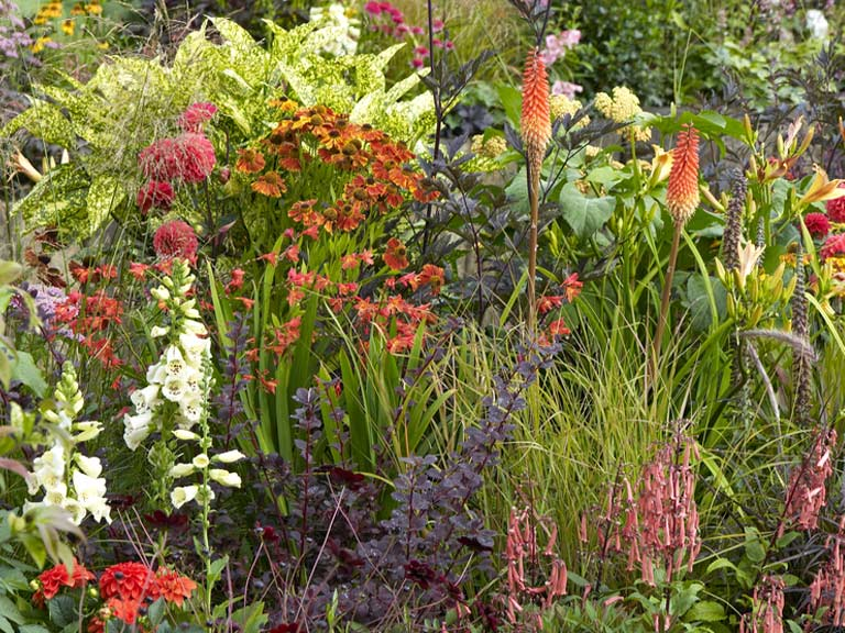 Red hot pokers in a summer border with heleniums foxgloves and dahlias