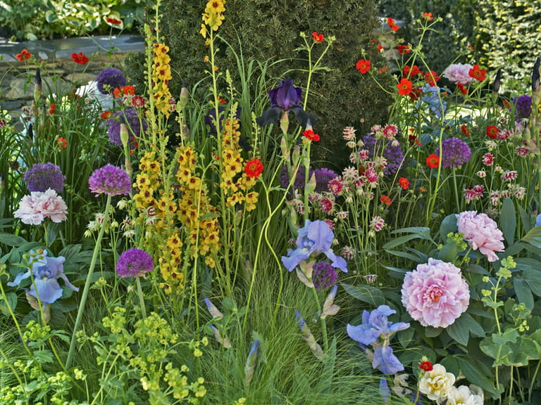 Herbaceous border with peonies, verbascum and irises