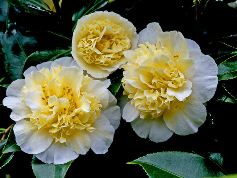 Camellia × williamsii 'Jury's Yellow' AGM