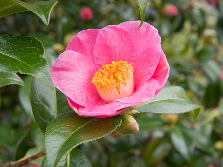 Camellia × williamsii 'Saint Ewe'