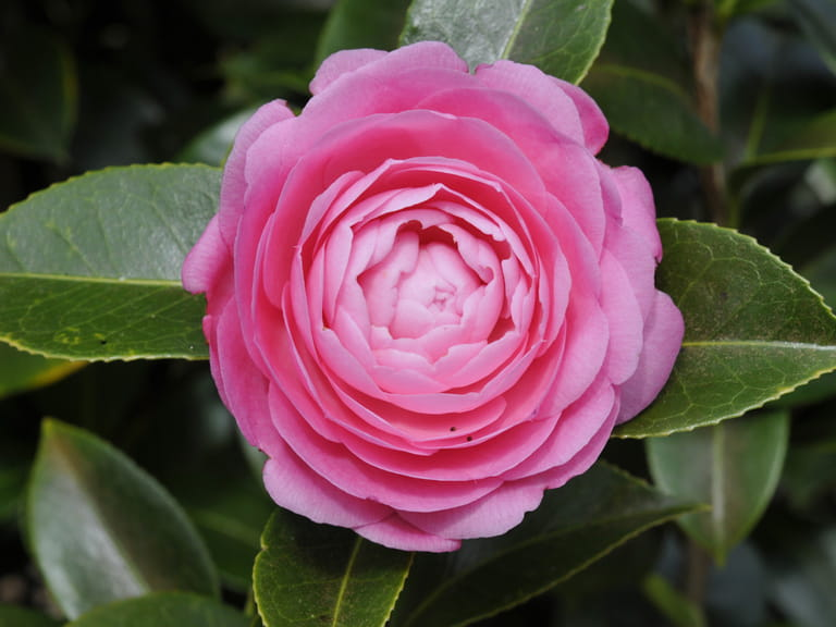 Camellia × williamsii 'E.G. Waterhouse'