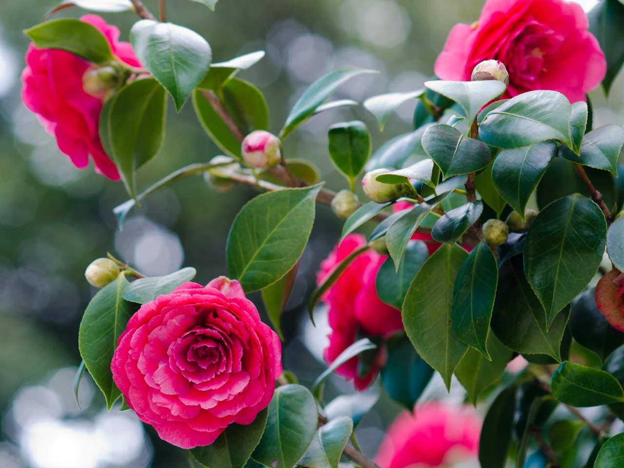 How to grow camellias saga - Camelia planta ...