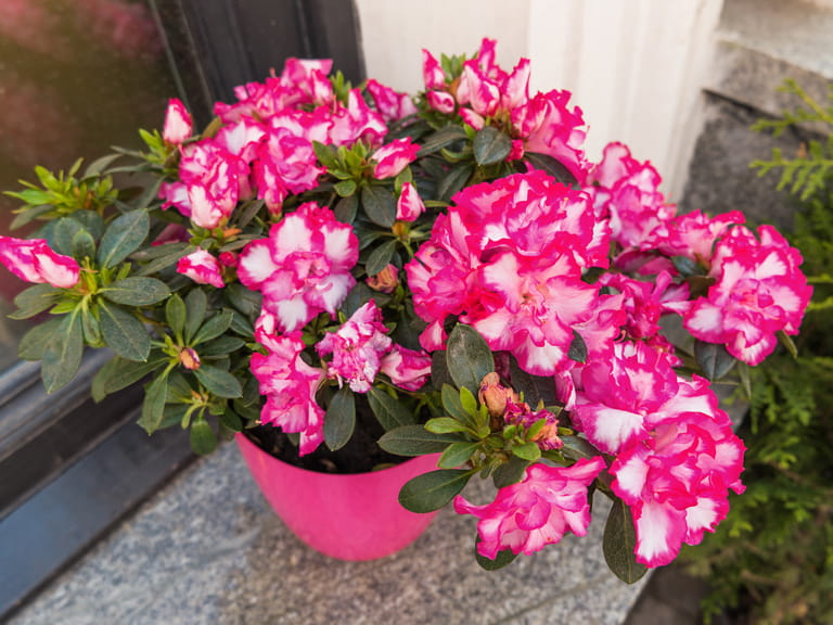Azaleas in a container