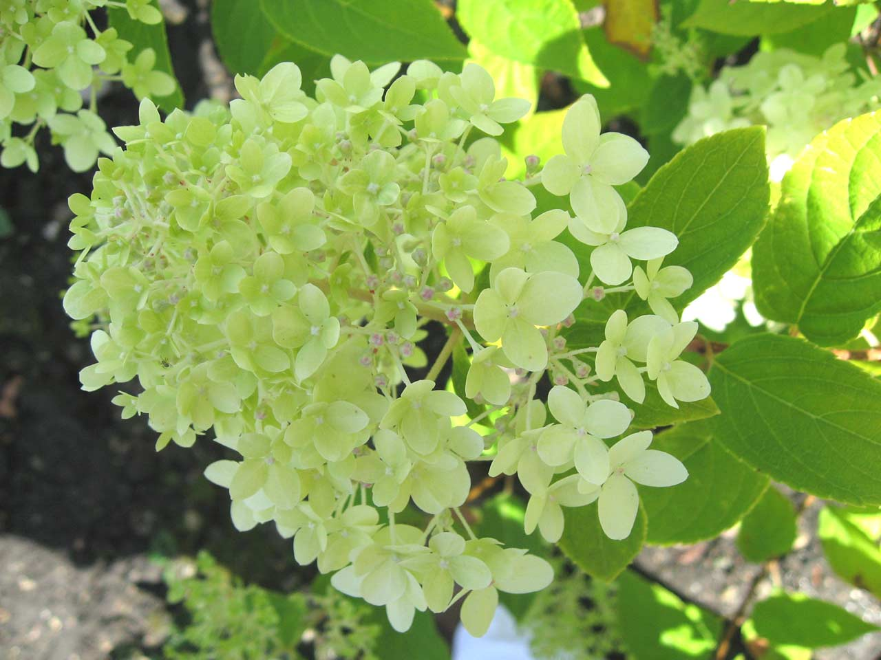 hydrangea paniculata limelight saga. Black Bedroom Furniture Sets. Home Design Ideas