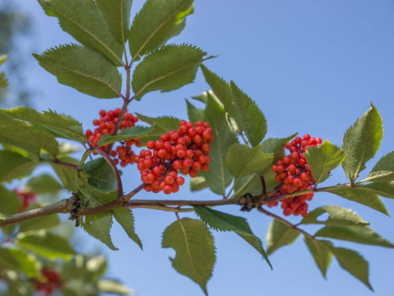 Berrying sorbus tree