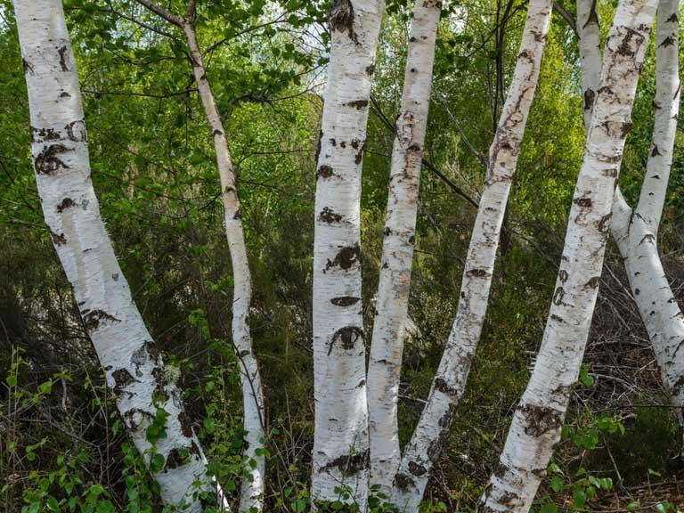 Choosing A Birch Tree Saga