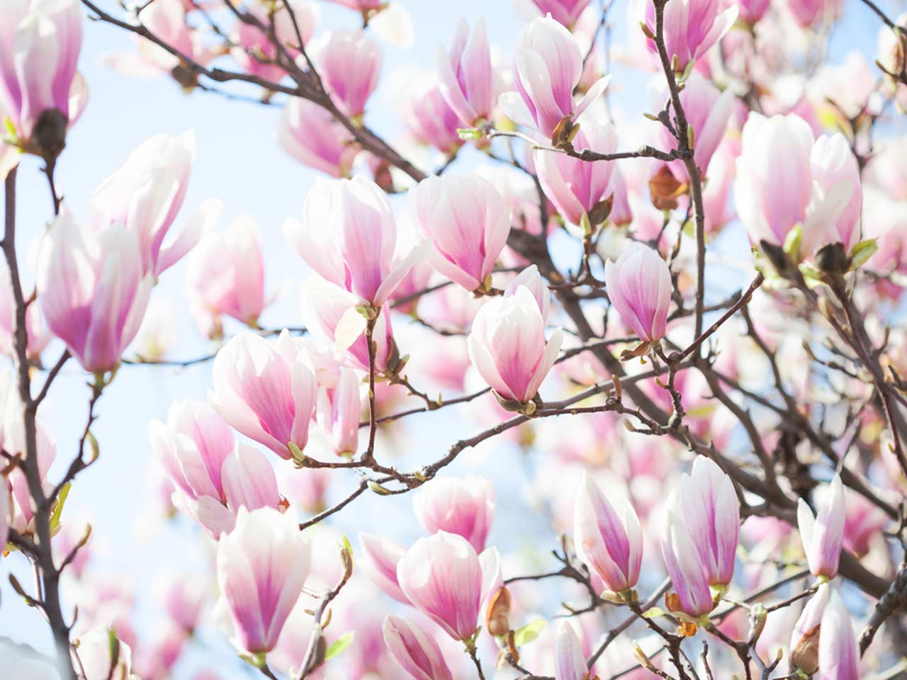 How To Grow Magnolia Trees Saga