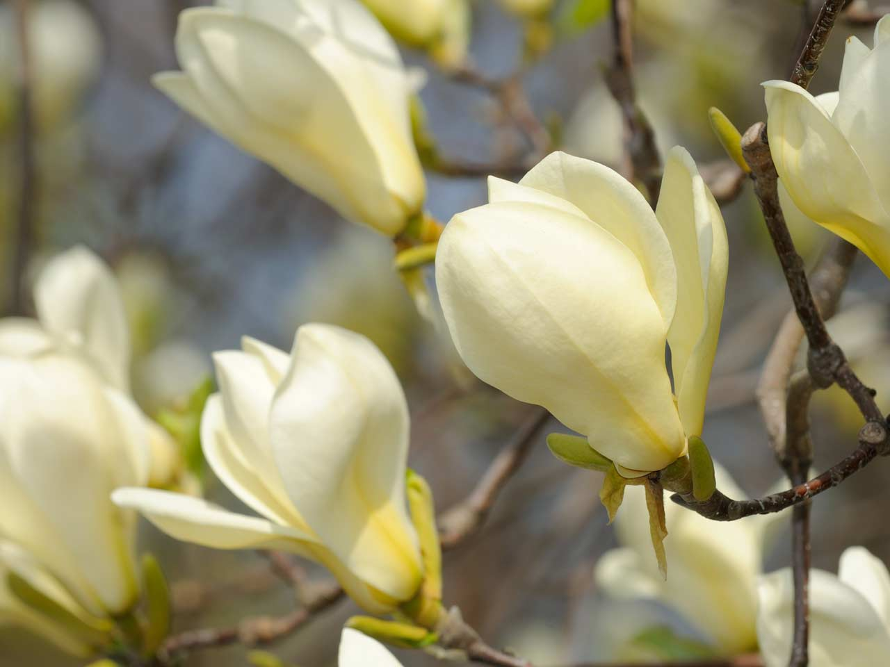 Yellow magnolia 'Goldfinch'
