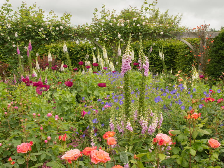Foxgloves in cottage garden border