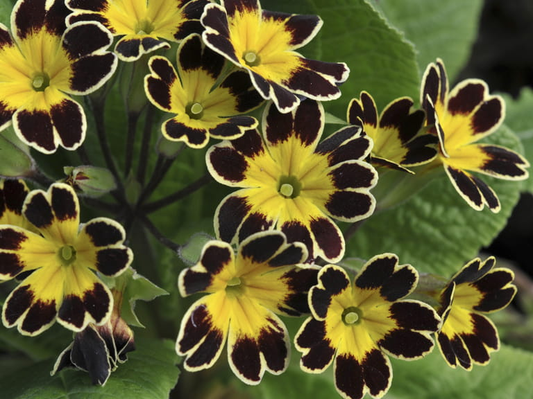 Primula gold laced