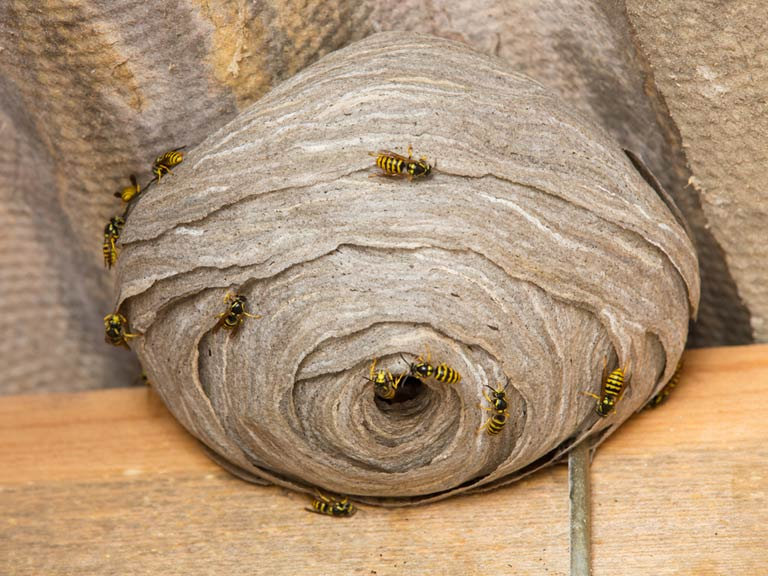 What to do about a wasp nest - Saga