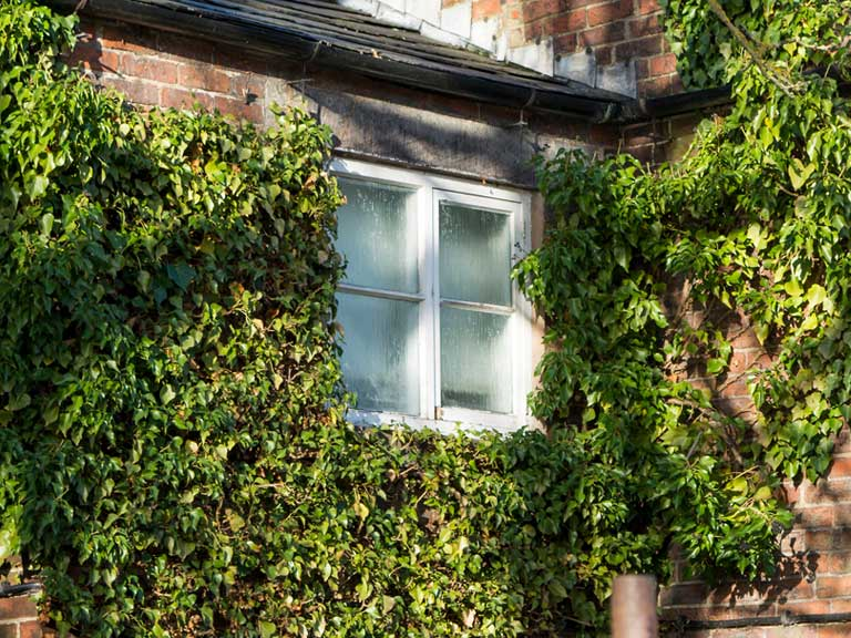 Ivy growing on brick house