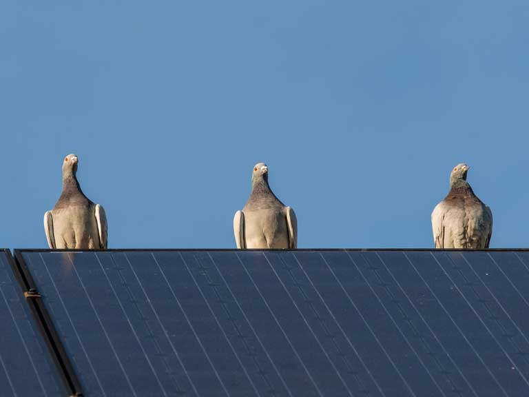 Pigeons on solar panel