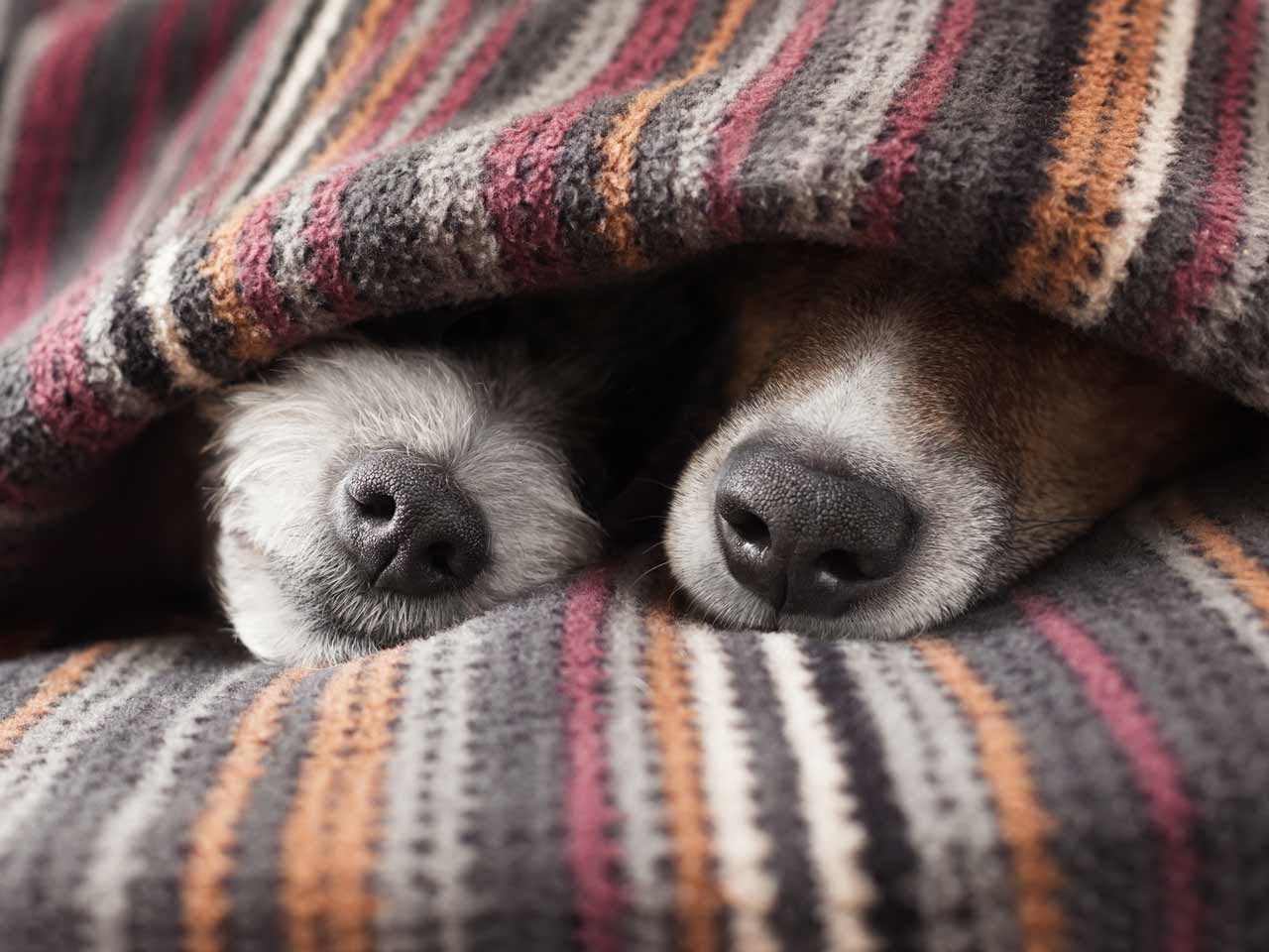 Dogs hiding under blanket