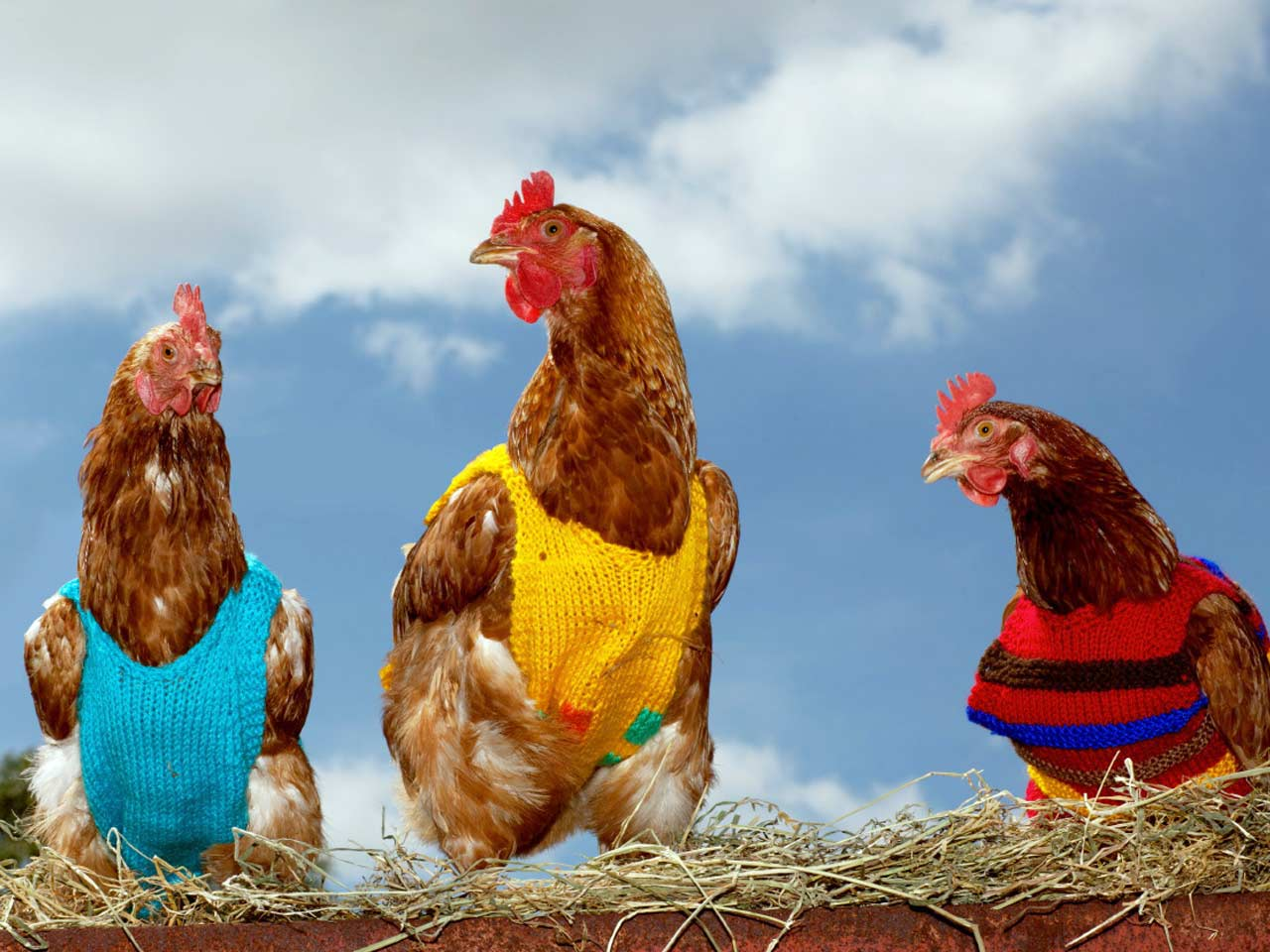 Chickens in vests