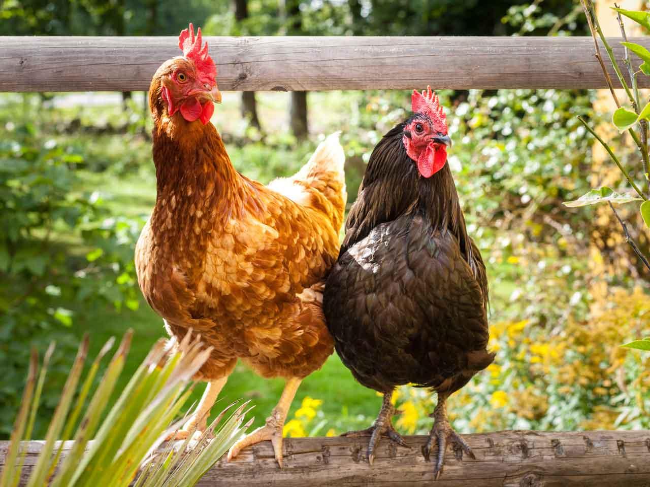 The naming of chickens - Saga