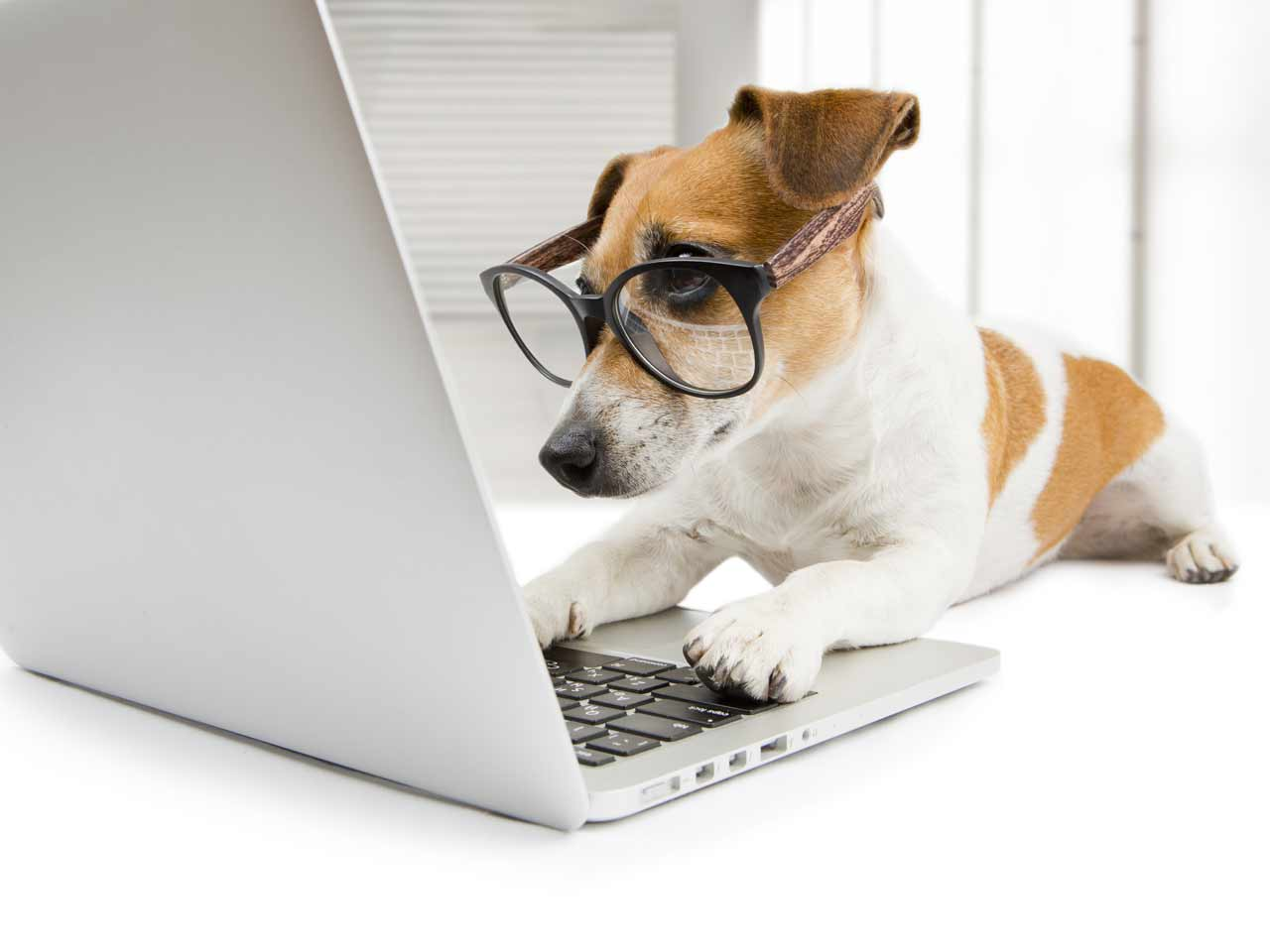 Terrier looking at computer screen