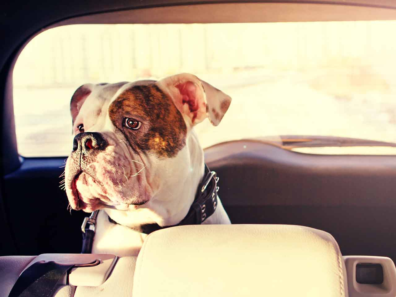Dog travelling in the car