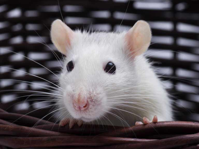12 Facts About Rats You Might Not Know Saga
