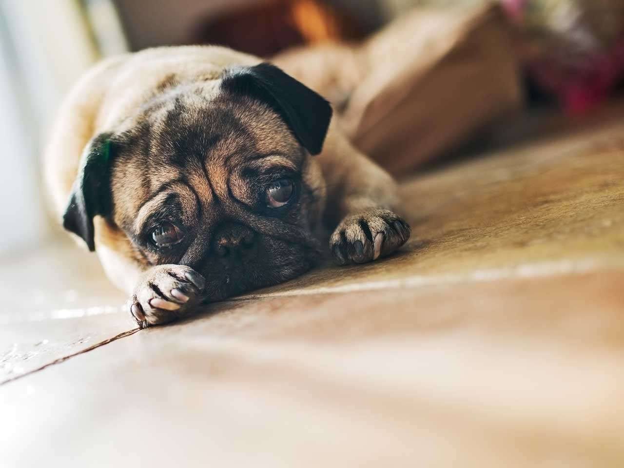 Grieving pug