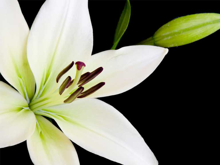 White lily funeral flowers