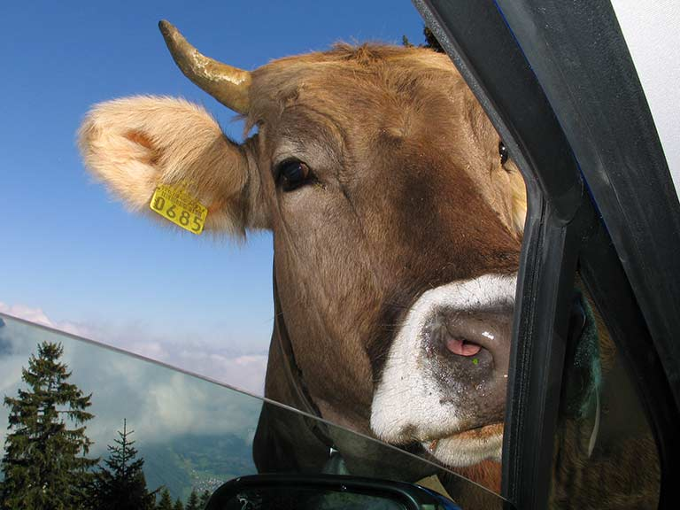 A cow watches through the window, just waiting for her moment to lick off the car's paintwork