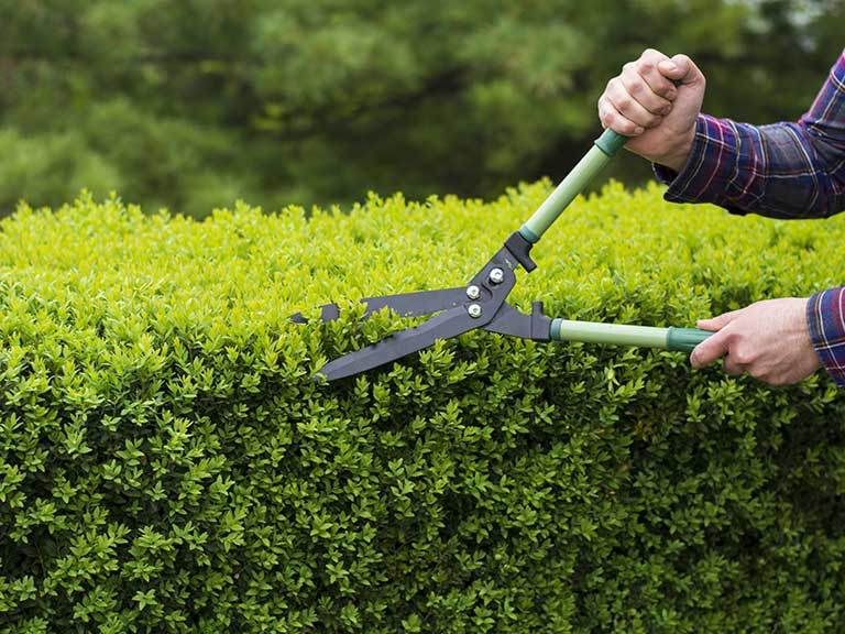 A man carefully trims a shared hedge