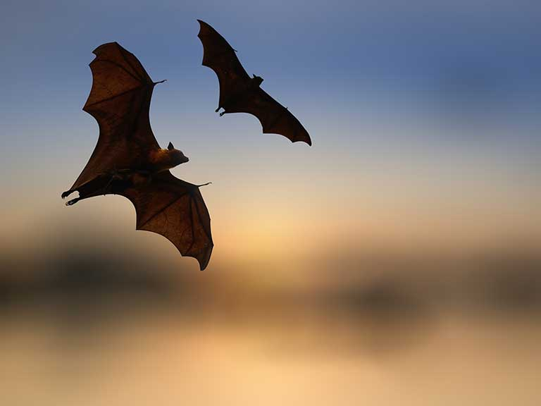 Bats fly in the evening sky