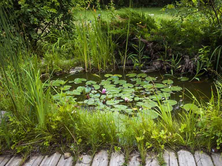 Small garden pond with water lilies growing on it, surrounded by shrubs and lawns.