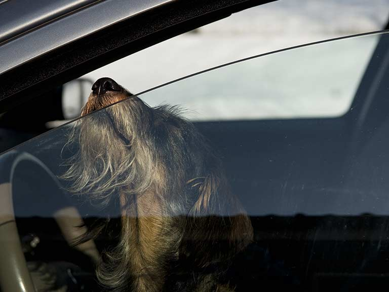 A dog in a hot car puts his nose to a crack in the window for air