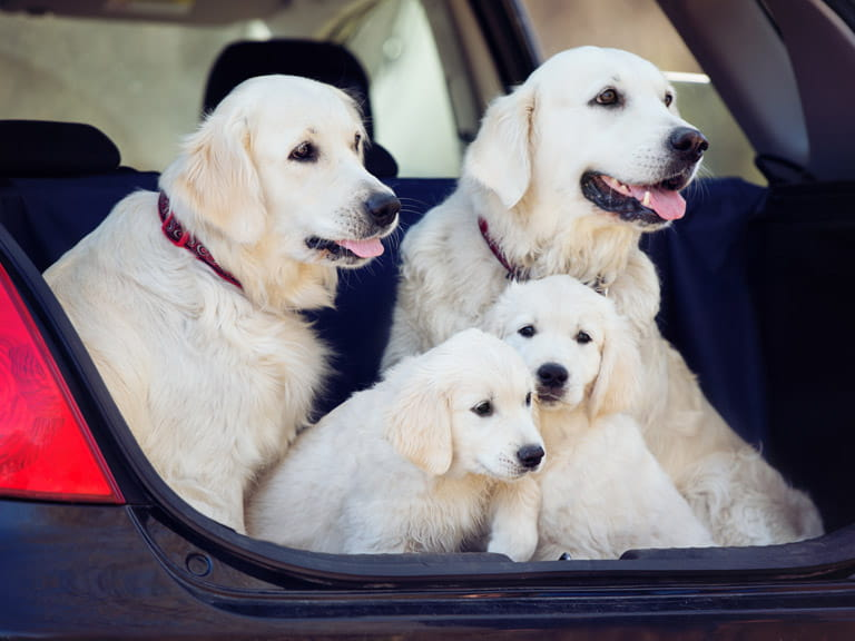 If you start getting your dog used to the car when he is a puppy, it will make life easier as he gets older