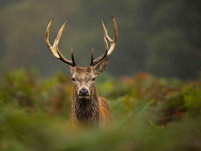 Red deer stag in the countryside