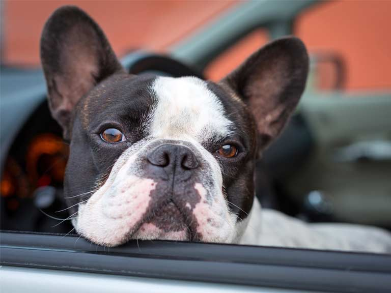 Dog sat in the front seat of a car