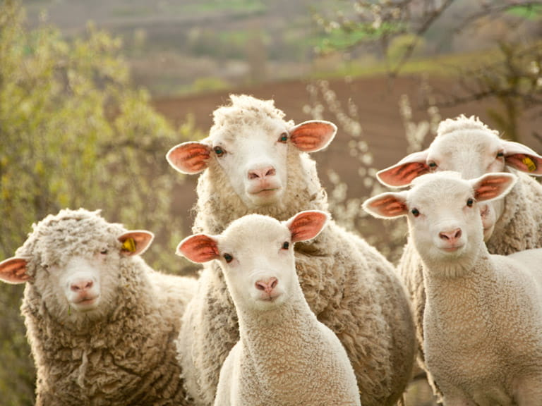 Could sheep be used as mobile road signs?
