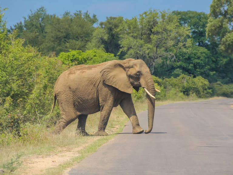 Do large animals really have the right of way on South African roads?