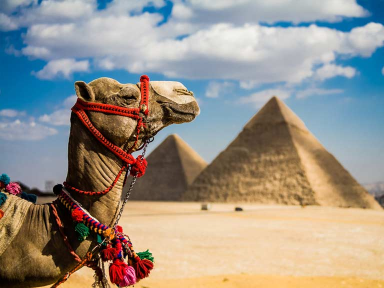 Camel in Egypt with pyramids