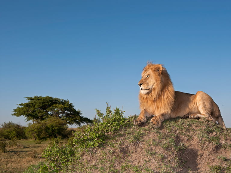 Lion sitting on mound in South Africa